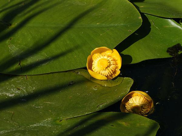 Gele plomp is de nationale plant van Friesland (foto van Wikipedia)